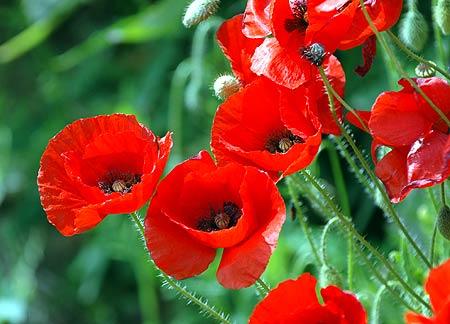 http://carynmirriamgoldberg.files.wordpress.com/2010/06/poppies-may04-d0033sar.jpg