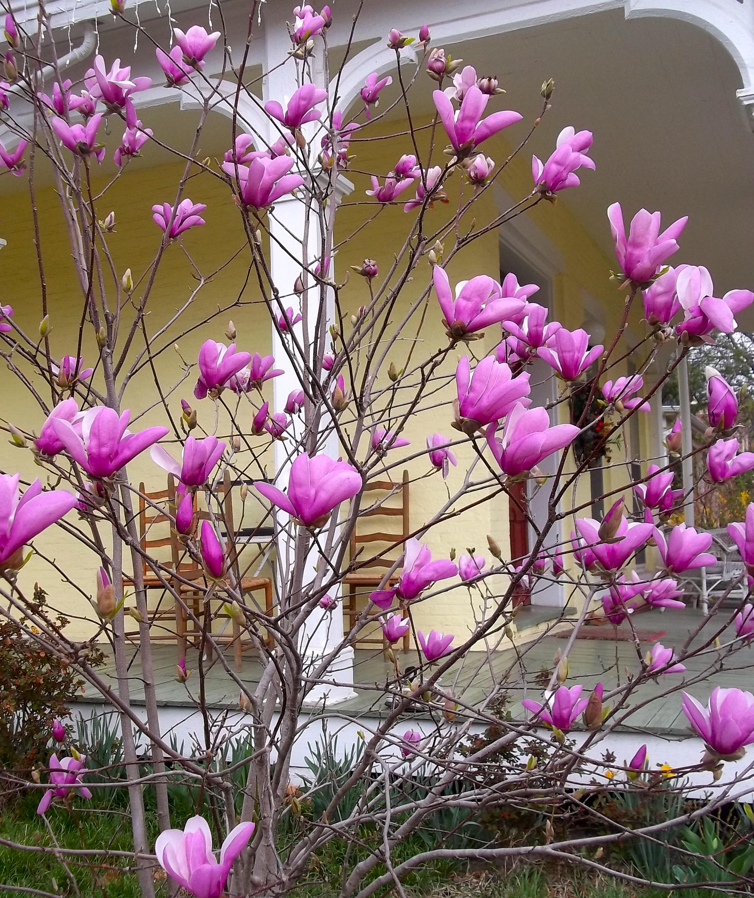Magnolia Tree Archives Caryn Mirriam Goldberg