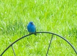 Indigo Bunting, you are so lovely!