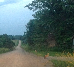 Not a very clear photo, but yes, foxes!